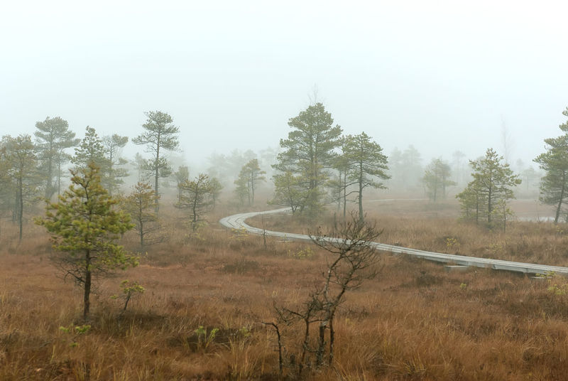 Morning in the Kemeri National Park. Latvia Footpath Latvia Marsh Misty National Park Nature Swamp Wetland WoodLand Bog Countryside Fog Foggy Forest Kemeri Kemeri National Park Landscape Mist Moorland Moss Nobody Northern Europe Outdoors Pine Trees Wasteland