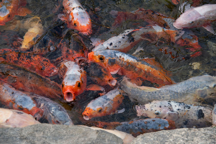 Animal Animal Themes Animal Wildlife Animals In The Wild Carp Fish Group Of Animals Koi Carp Koi Carps Large Group Of Animals Marine Nature No People Pond School Of Fish Sea Sea Life Swimming Underwater Vertebrate Water
