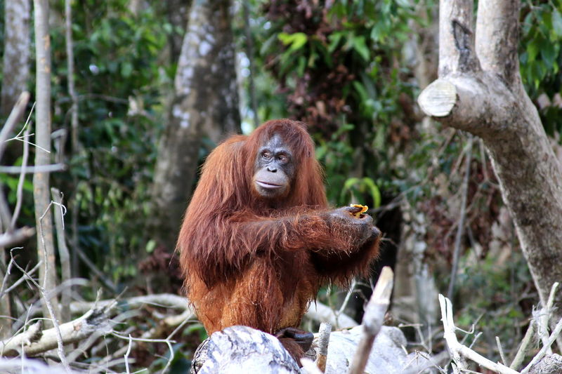 Orangutan Sitting On Tree Trunk In Forest