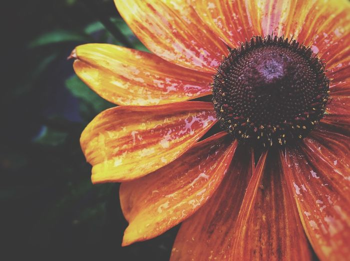 Close-Up Of Orange Coneflower Blooming At Park