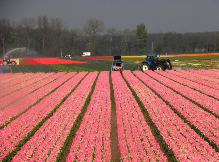 Tulip fields in Amsterdam Amsterdam The Netherlands Tulip Fields Lost In The Landscape