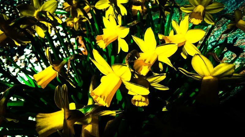 Easter Narsis Flowers Flores Blumen Blommor Blomster