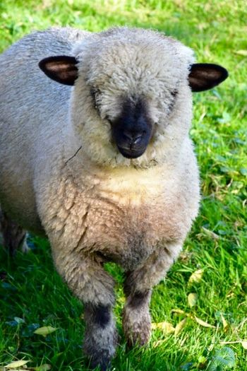Alertness Animal Animal Themes Close Up Curiosity Day Looking Out In The Fields Sheep