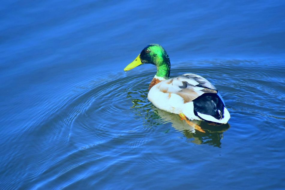 Editedbyme Mallard Ducks Mallard NIKON D5300 Nature Nature Photography Bird Photography Lakes  Blue Wave Check This Out Out And About Ducks In Water Beauty In Nature Beautiful Nature Natures Colours EyeEm Birds EyeEm Nature Lover Life Though The Lens
