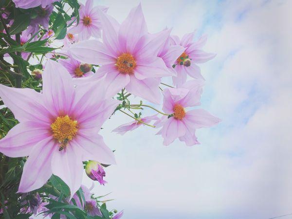 IPhoneography Eyeem Natur Lover Flowers Flowerporn Pink Flower Tree Dahlia