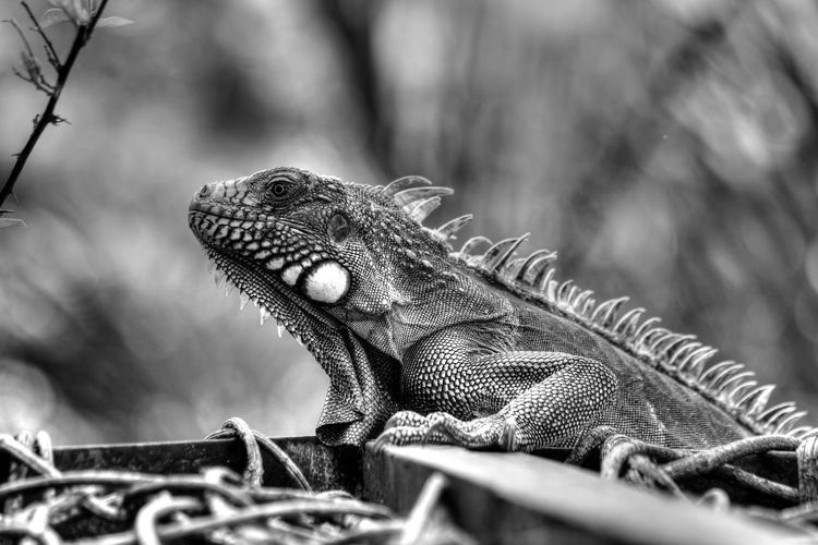 Close-Up Side View Of Reptile Against Blurred Background