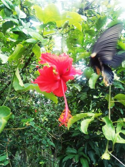 Beauty In Nature Blackbutterfly Blooming Blossom Botanic Botanical Butterfly Creation Day Ecology Ecovillage Flower Fragility Green Color Growth INDONESIA Jungle Leaf Nature No People Outdoors Plant Seduction Sumatra  Transformation