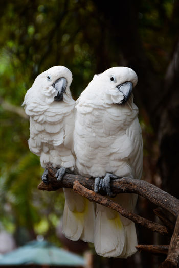 View of cockatoo sitting on branch of tree