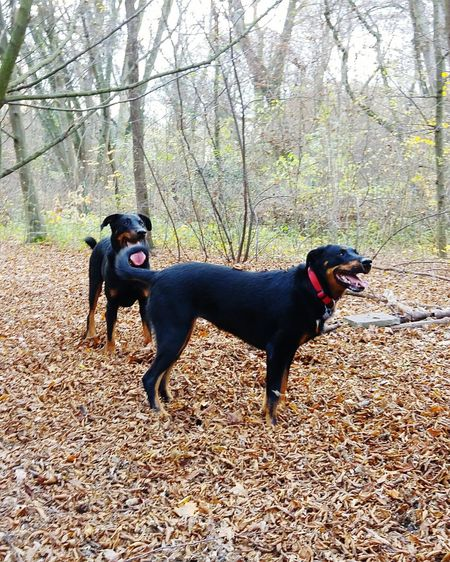Beauceron Hunde Animals Dog Ilovemydog Berger De Beauce Mydog Dogsofeyeem Mydogsarecoolerthanyourkids Zunge Raus ZUNGE