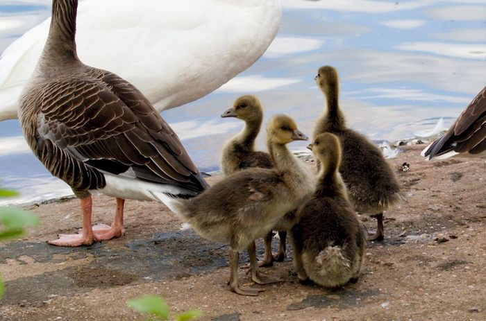 Young Bird Bird Gosling Animal Wildlife Water Animals In The Wild Young Animal Goose Nature Outdoors No People Animal Themes Day