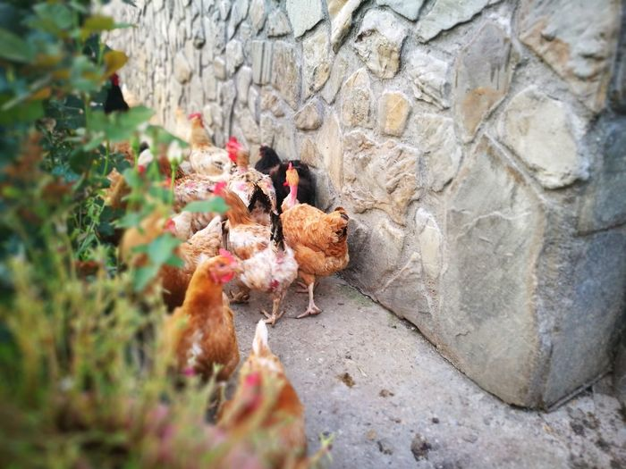 hens next to a wall Chickens Chicken - Bird Chicks Hen Hens And Chickens Wall - Building Feature Yard Countryside Farm Life Bird Close-up Livestock Chick Young Bird Animal Crest Baby Chicken Poultry