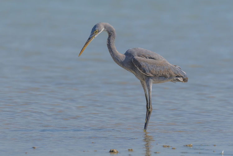 Reef Heron Animal Wildlife Water No People Bird Nature Day Bird Photos Clear Sky Sunny Beak Beauty In Nature Birds🐦⛅ Sky Beach Feather  Outdoors Feather