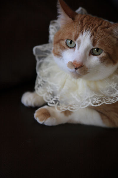Cat in lace collar with copy space Adorable Alert Animal At Home Black Background Cat Close-up Copy Space Cute Dressed Up Feline Fun Furry Ginger Tabby Indoors  Lace Collar Looking At Camera Mammal Natural Light Orange And White Cat Pet Portrait Watchful