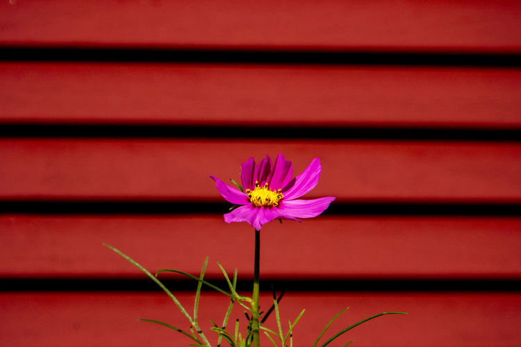 Brown beams Flower Flowering Plant Plant Petal Beauty In Nature Nature No People Pink Color Outdoors Red Boards Shutters Slats Of Wood Brown Wooden Beams Beams Siding Zinnia Flower