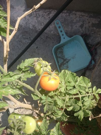 Ripe (orange colored) and unripe (green colored) tomatoes hanging from a plant in the home garden, grown as an organic kitchen garden. Food Green Color Growing Tomatoes Hanging Fruit Home Garden Kitchen Garden Leaf Nature Organic Organic Garden Plant Ripe And Unripe Tomatoes Ripe Tomatoes Tomato Tomato Plant Unripe Tomato
