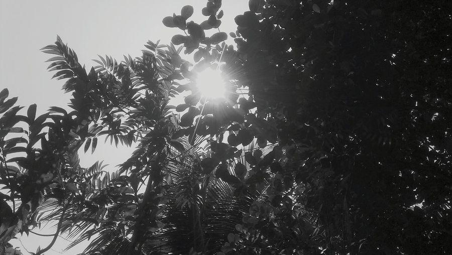 Silhouette Assam Tree Hugger Black And White
