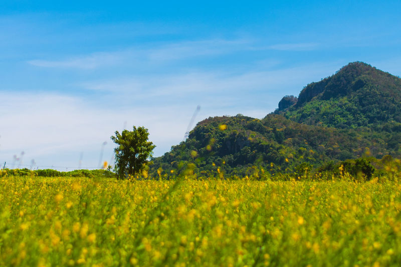 Landscape of golden flower with mountain and blue sky, beautiful summer nature, field, travel. Agriculture Beauty In Nature Crop  Day Field Flower Freshness Green Color Growth Landscape Mustard Plant Nature No People Oilseed Rape Outdoors Plant Rural Scene Scenics Sky Spring Sumer Tranquil Scene Tranquility Tree Yellow