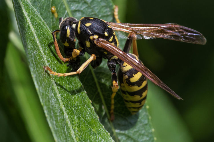 European paper wasp - Polistes dominula Focus On Foreground Insect Invertebrate Animal Themes Animal Animals In The Wild Animal Wildlife One Animal Close-up Plant Part Leaf Green Color Plant Day Nature No People Selective Focus Outdoors Macro Macro Photography Wasp