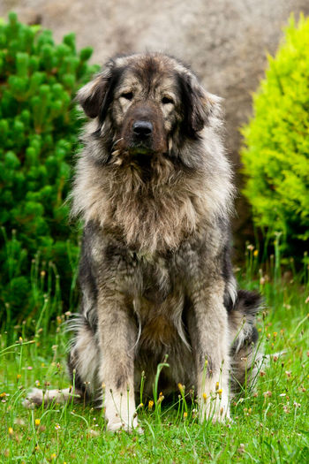 Caucasian Ovcharka Guardian Dogs Sitting Canine Caucasian Caucasian Owcharka Caucasian Shepherd Caucasian Shepherd Dog Dog Domestic Animals Grass Guard Dog Large Dog Looking At Camera Nature No People One Animal Outdoors Ovcharka Pets Portrait Purebred Dog Shepherd Shepherd Dog Shepherddog