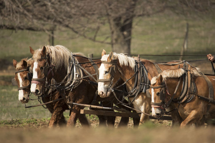 Agriculture Animal Animal Themes Domestic Animals Herbivorous Horse Livestock Plowing Spring Farming Working Animal