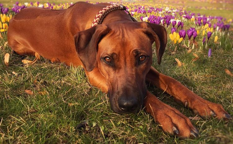 Spring feelings 💖🐝 Looking At Camera Portrait One Animal Pets Dog Mammal Grass Domestic Animals Animal Themes Relaxation Nature Lying Down Outdoors Day Close-up No People Flower Crocus Green Ridgeback Beauty In Nature Rhodesian Ridgeback Looking At Camera Animal Nature