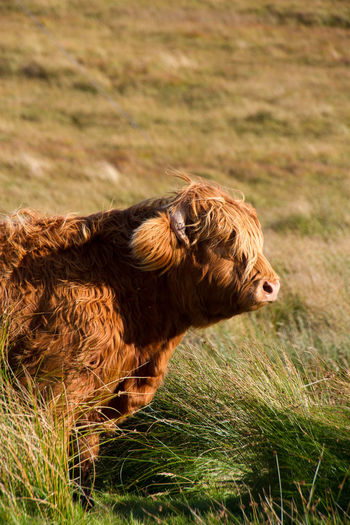 Highland Cow One Animal Grass Outdoors Highlands Highland Cattle Nature No People Side View Grassland Nature Field Animal Head  One Animal Animal Themes Side View Grass Focus On Foreground Field Animal Head  Zoology Day Outdoors Nature Tranquility