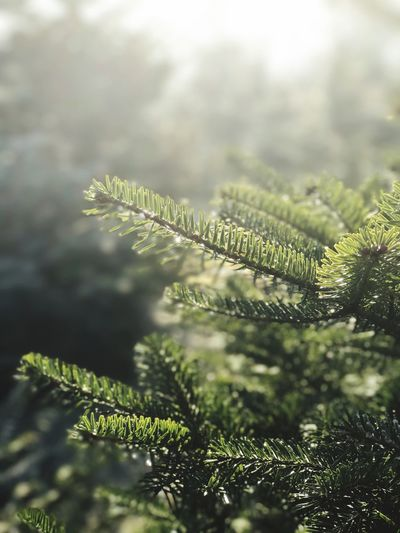 Nature Growth Close-up Green Color Leaf Beauty In Nature Plant No People Day Outdoors Freshness Needle - Plant Part Tree Pain Tree Winter