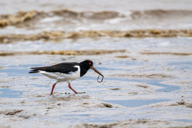 Oyster catcher, haematopus ostralegus, with worm or fluke from mud flats of bradwell on sea