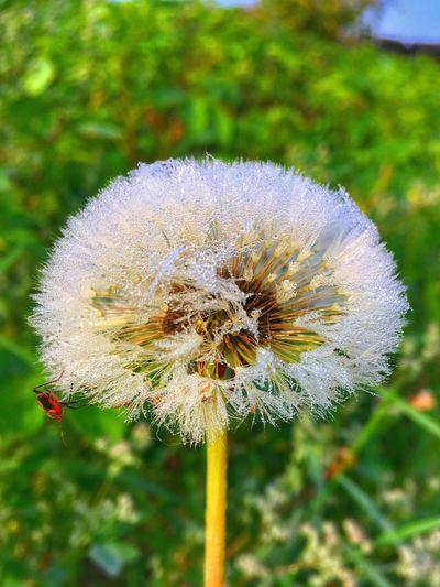 Утренняя роса на одуванчике White Green Color Blue Red Summer Pieceofsummer First Eyeem Photo