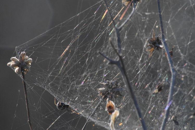 webed wonder