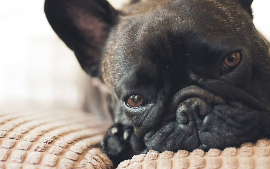 Small French Bulldog looking all sleepy and cute, laying on sofa cushions. Nice soft tones. Cute image... even cuter dog. Bulldog Animal Animal Body Part Animal Eye Animal Head  Animal Themes Canine Close-up Day Designer  Dog Domestic Domestic Animals Focus On Foreground French Bulldog Looking At Camera Mammal No People One Animal Pets Popular Popular Dog Portrait Pug Small