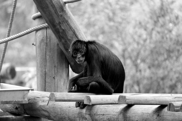 Portrait Of Spider Monkey Sitting On Log In Zoo