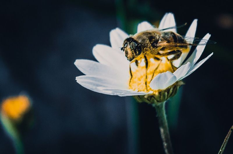 Close-up of honey bee pollinating on flower