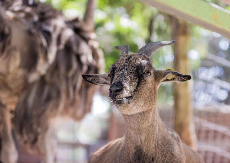 Close-up of nubian ibex at zoo