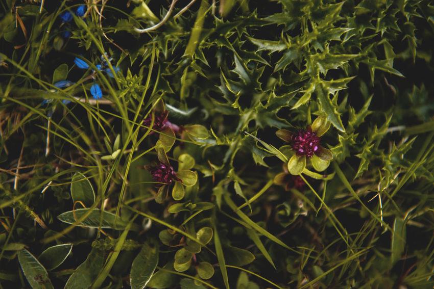 Botanical series: Micrology / Shot with Nikon D800E Alpine Freshness Grass Green Growth Micro Plants Spiky Thymus Citriodorus Thymus Pulegioides Zitronenthymian Alpine Thistle Alps Botanical Cirsium Spinosissimum Close-up Distel Fragility Lemon Thyme Macro Micrology Mini Mountain Plants Selective Focus Thistle