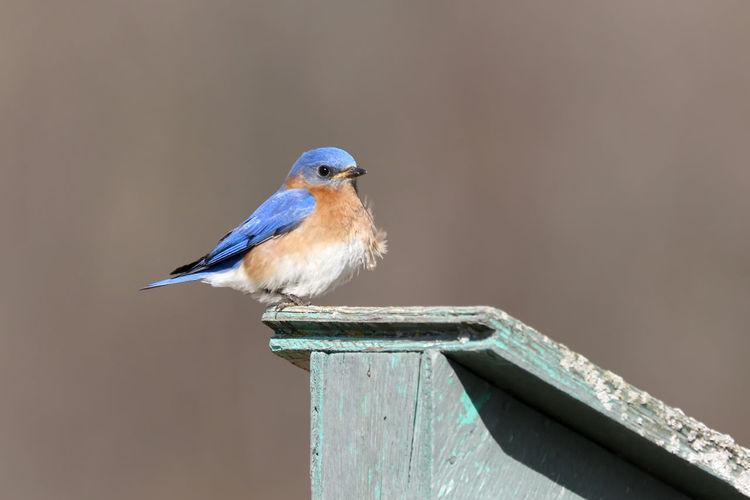 Bluebird Animal