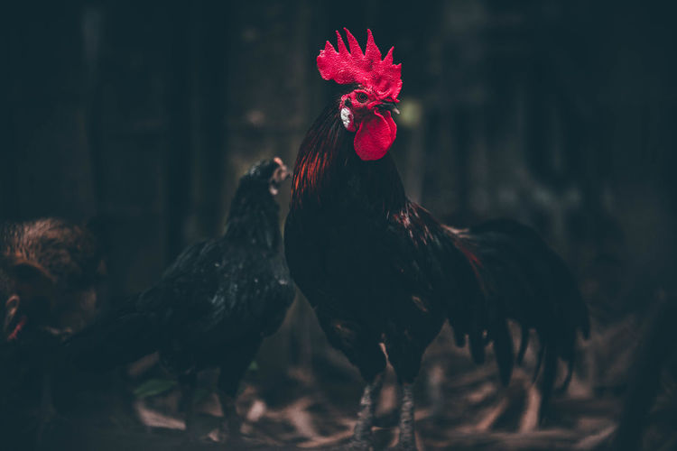 View of a rooster on land