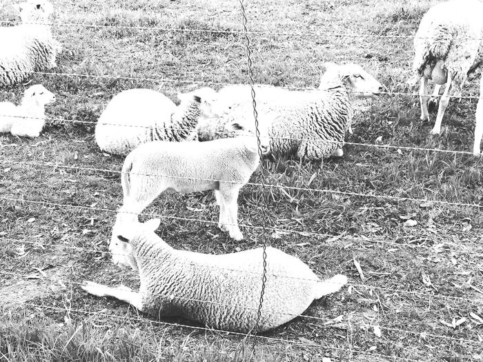 Blackandwhite Sheeps Sheep