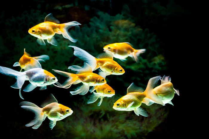 Goldfishes swimming in fresh water aquarium Goldfish In Water Swimming Aquarium Aquarium Life Aquarium Photography Gold Fish In A Glass Tank Underwater Water