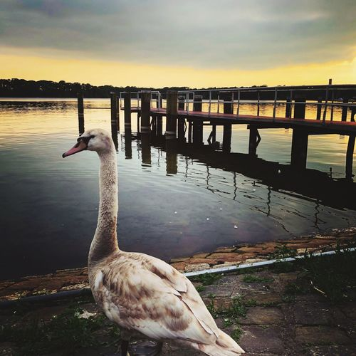Schwan am Tegeler See Berlin Tegel Berlin Beautiful Sky Skyporn Schwan  Water Animals In The Wild Animal Animal Themes Vertebrate Bird Animal Wildlife Lake Sunset Nature Sky Reflection Swan No People Beauty In Nature Pier EyeEmNewHere