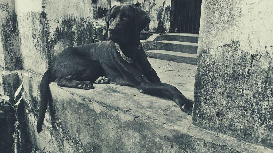 Dog Poser Pointerbreed Blackandwhitephotography