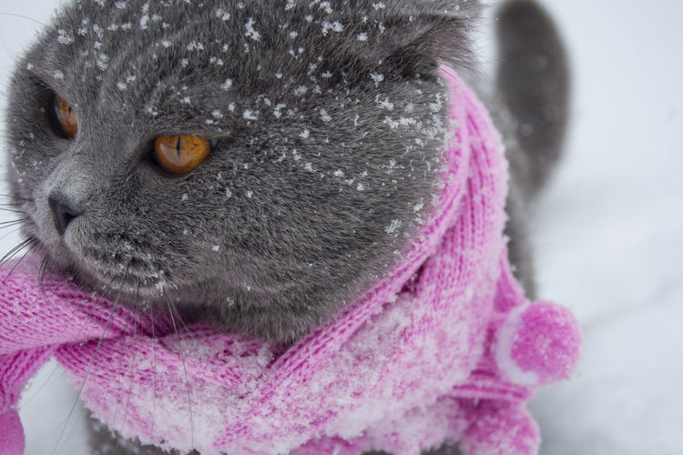 One Animal Animal Themes Animal Mammal Close-up Pink Color Winter Domestic Animal Body Part Portrait Animal Head  Cold Temperature Domestic Animals Gray Pets Looking Away No People Animal Wildlife Snow Warm Clothing Whisker Purple Scarf Snowflakes Brown Eyes