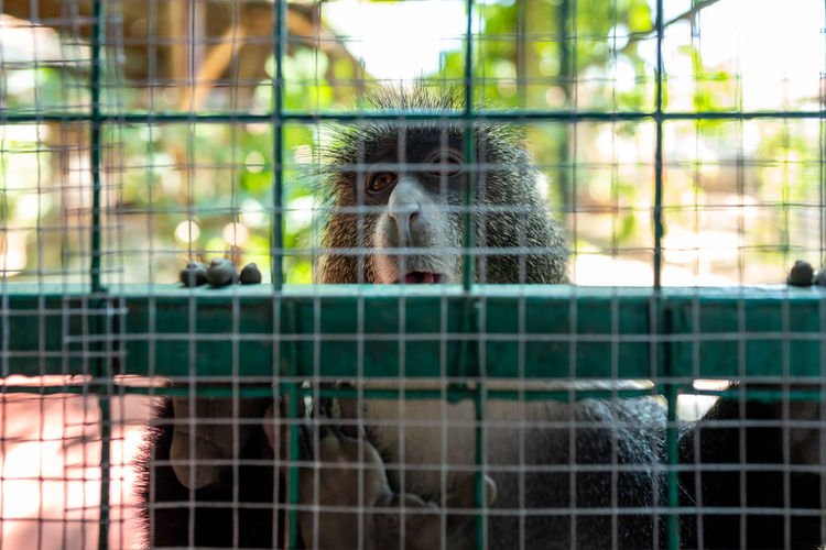 Langkawi Animal Animal Themes Cage Primate Monkey Animals In Captivity One Animal Mammal Animal Wildlife Vertebrate Animals In The Wild Day Portrait Looking At Camera No People Zoo Focus On Foreground Trapped Boundary Fence Animal Head  Outdoors