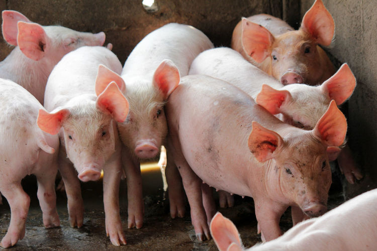 Small pigs in the stable are eating and growing. To send to the slaughterhouse. Is a pork industry To be human. Humans Industry Pork Slaughterhouse Growing Small Pigs Small Pigs In The Stable Are Eating And Growing. To Send To The Slaughterhouse. Is A Pork Industry To Be Human. Agriculture Animal Animal Family Animal Themes Day Domestic Domestic Animals Farm Group Of Animals Livestock Mammal Medium Group Of Animals Mud Nature No People Outdoors Pets Pig Piglet Pink Color Small Snout Young Animal
