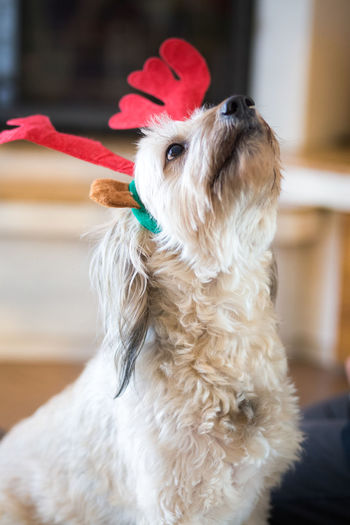 Happy Christmas dog Domestic Animals Pets Mammal Domestic One Animal Dog Canine Focus On Foreground Vertebrate Day Indoors  Christmas Christmas Dog Reindeer Antlers