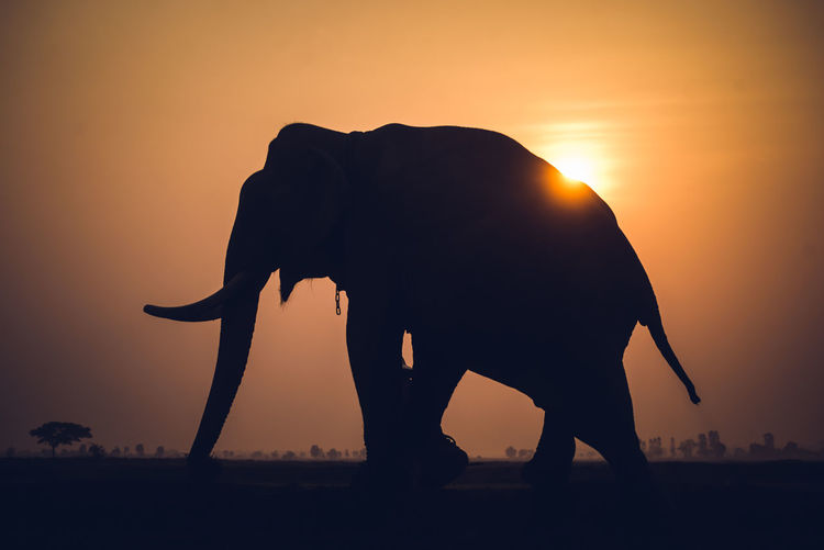Silhouette elephant walking on field against orange sky
