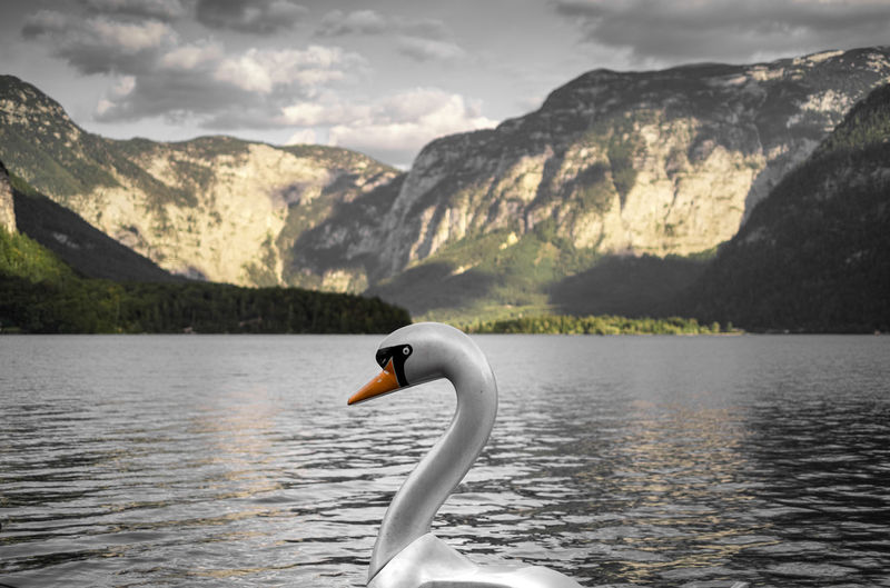 View of swan in lake against mountains