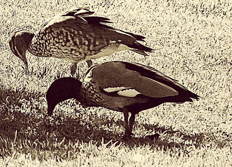 Ducks Sepia Monochrome Birds At The Park