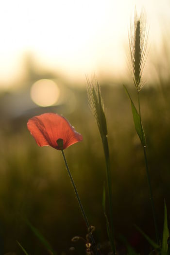 Flower Nature Nature Photography Poppy Flowers Summer TLP