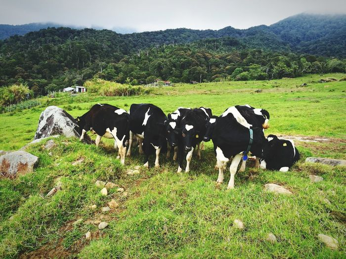 Domestic Animals Grass Animal Themes Cow Landscape Agriculture Livestock Rural Scene No People Nature Mammal Day Outdoors Tree Sky